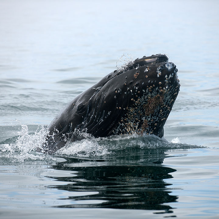 Alaska Whale Watching Tour, humpback whales, orcas, whale photography